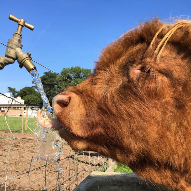 Highland Cattle Drinking Water