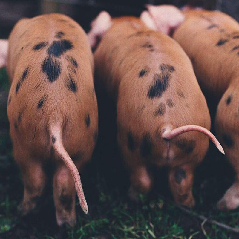 Piglets tails